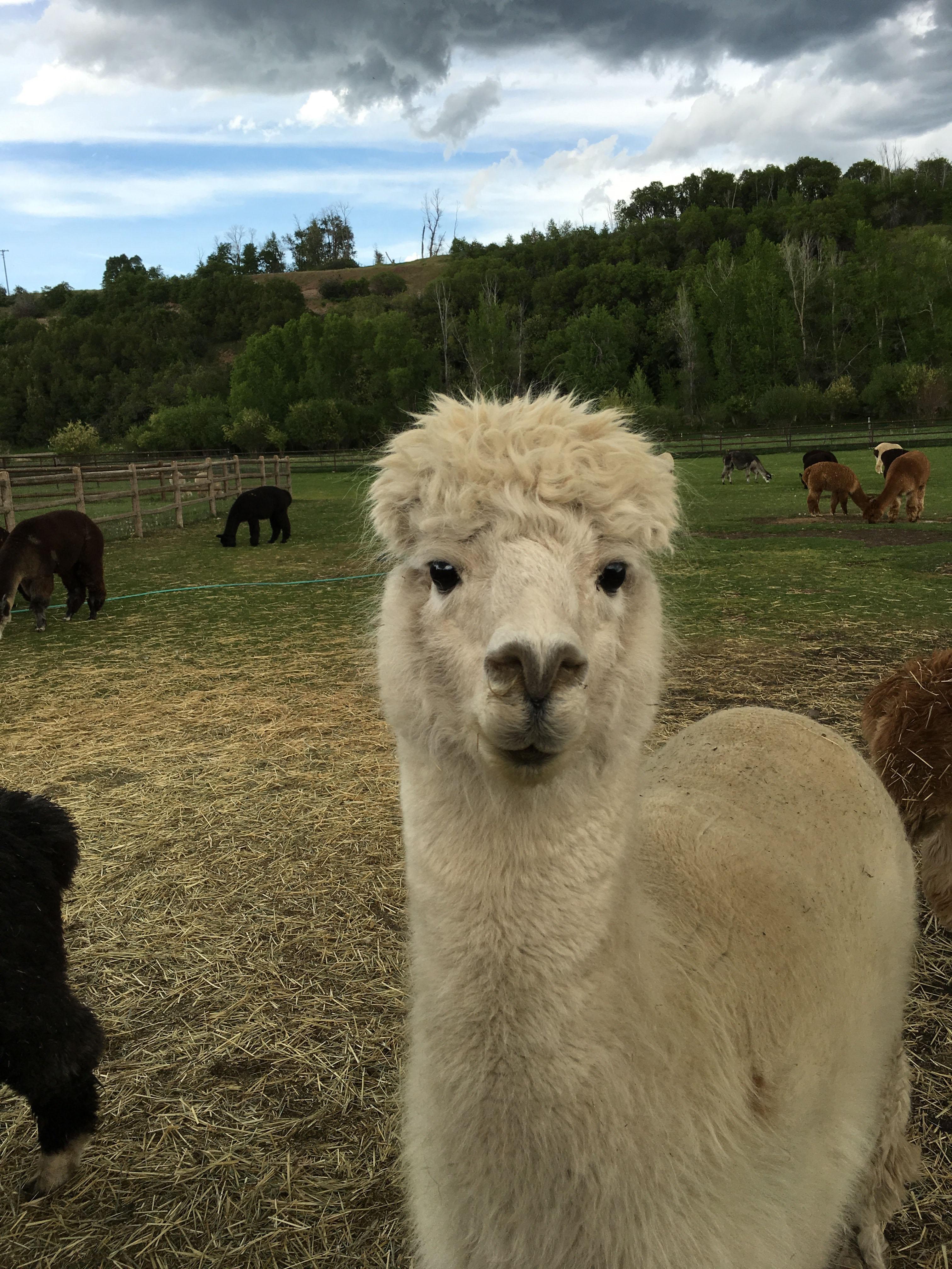 alpaca9