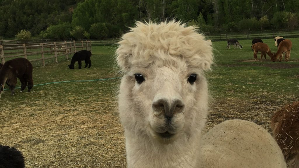 Blue Moon Alpaca Farm