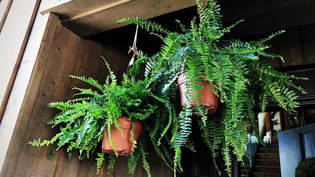 I bought a couple of hanging ferns from my local grocery store. If I have time I might just spray paint the plastic pots white, though I don't mind the terra cotta color.
